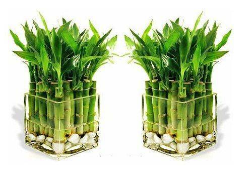 Bamboo care at home in the water: creating an optimal environment and multiplying the plant