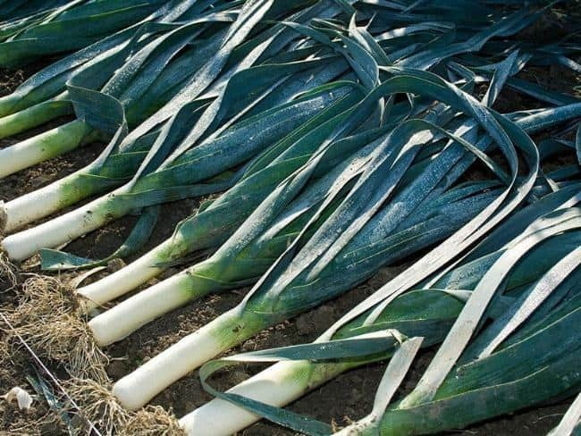 The best sorts of onion leeks