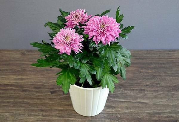 When to transplant chrysanthemums from a pot to a pot - in spring or autumn: the secrets of growing