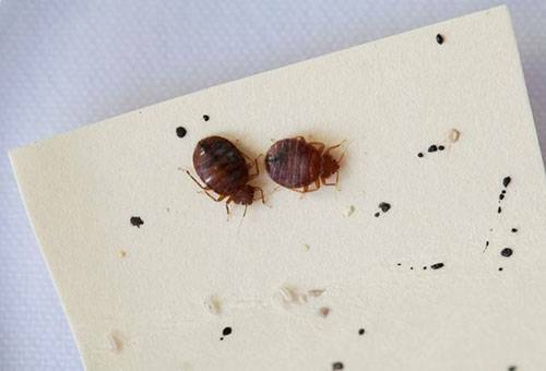 How to bring out bedbugs quickly and independently-what drugs and folk remedies will help get rid of