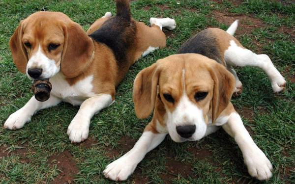 "Top 10 most ""harmful"" breeds of dogs"