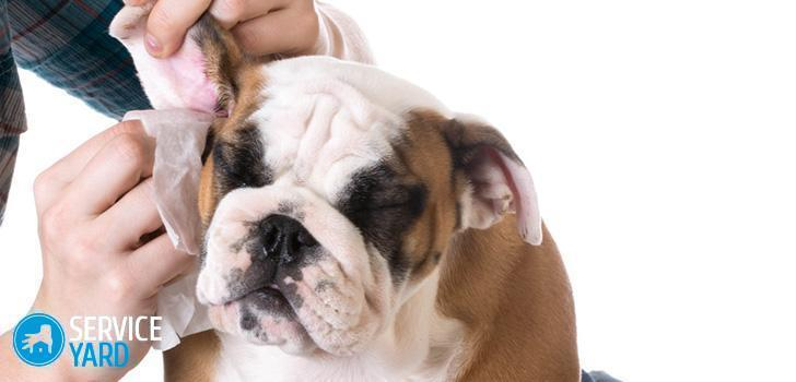 How to clean the ears of a dog at home?