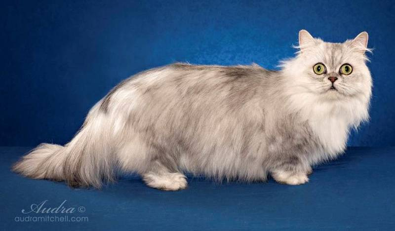 The smallest breed of cats. Top 10( with photos)