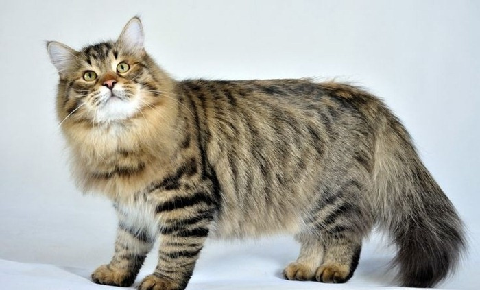 The most fluffy cats in the world( Top 5 breeds)